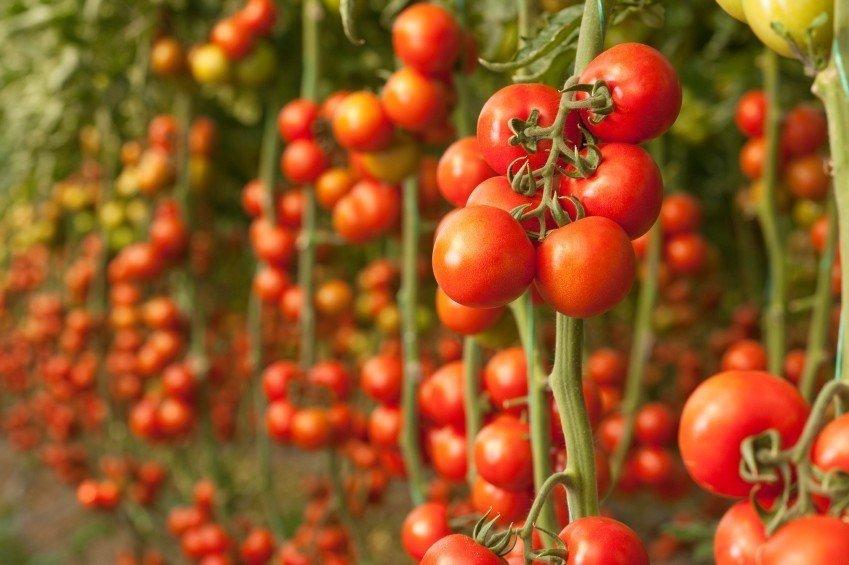 modne-tomater-i-drivhus
