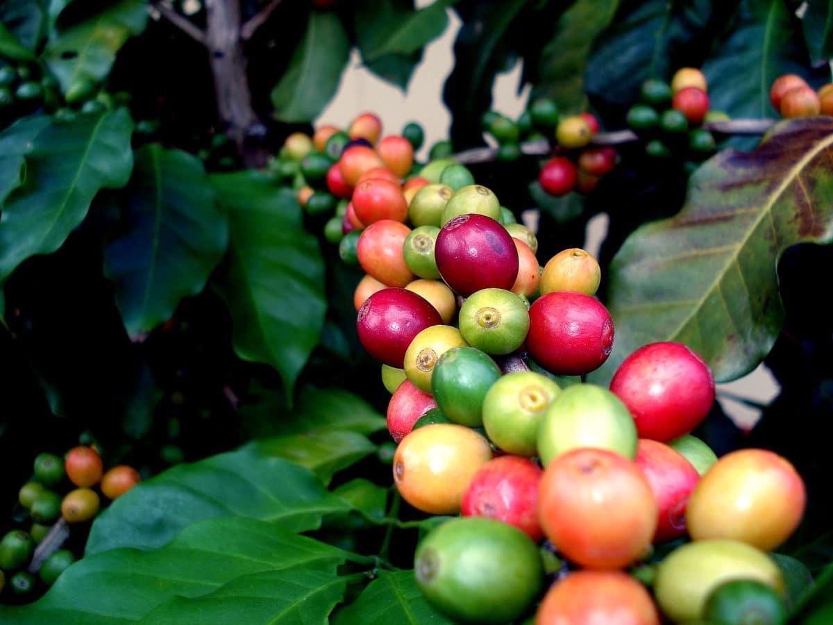 Rohan-Marley-guld-ø-Jamiaca - Jamaica-coffee.jpg
